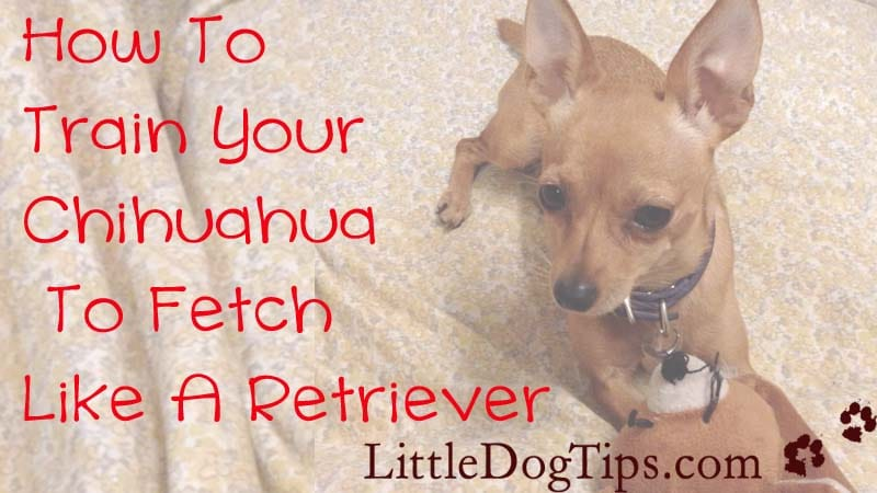 Train your #chihuahua to fetch like a retriever... we'll show you how!