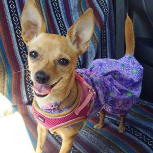 Lucky to have Matilda, the chihuahua minpin mix (chipin or minchi)
