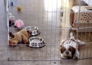"""If you need to safely confine your dog for longer than she can """"hold it,"""" try a gated play area with a puppy pad or newspapers."""