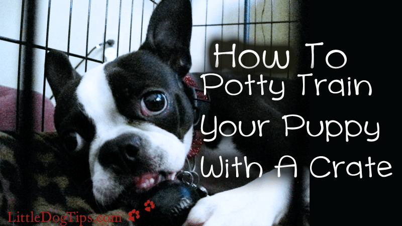 Happy boston terrier plays with kong during crate training