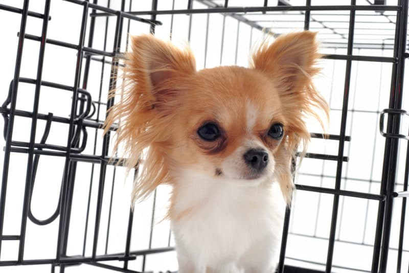 Avoid locking the crate, at first. Your chihuahua should see it as a happy place to be - not a prison to be left alone to cry.
