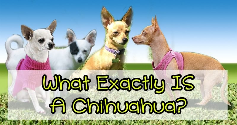 "What exactly IS a #chihuahua? Are they becoming as common and vaguely labeled as the ""#pitbull""?"
