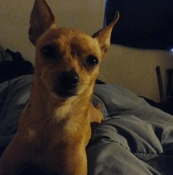 The best part of waking up... not Folgers in your cup, but a Chihuahua on your chest.