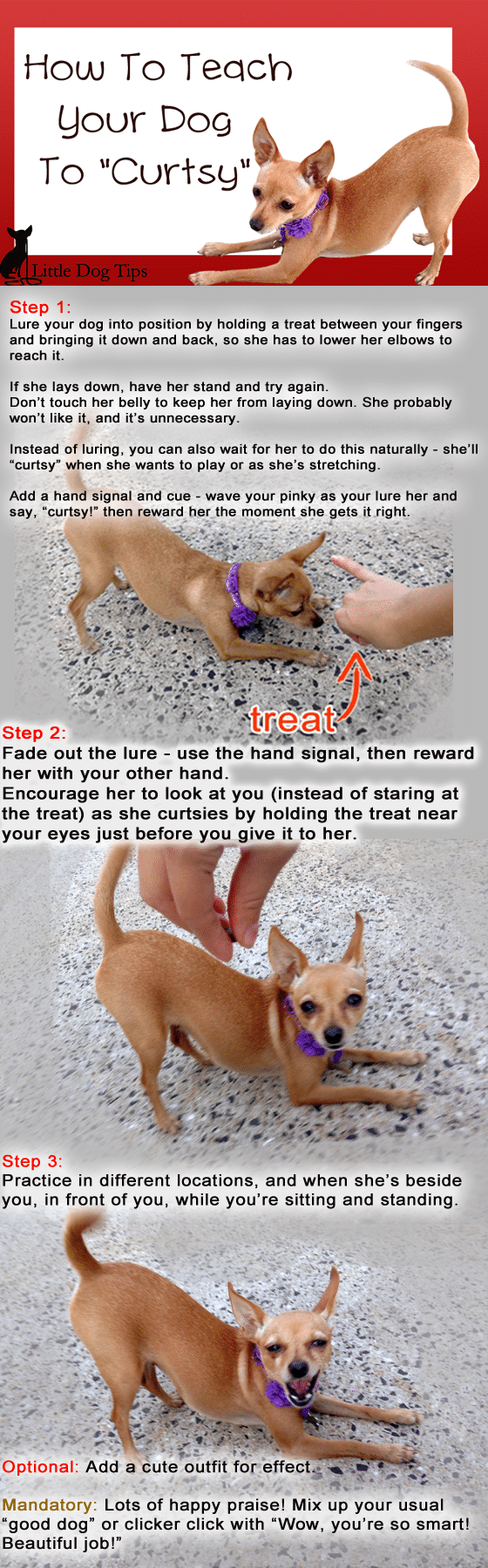 How to teach your dog to curtsy, step by step using #positivereinforcement, with help from Matilda the minipin-chihuahua.