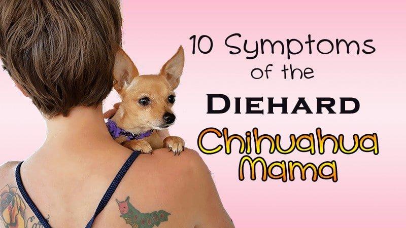 10 Symptoms of a diehard Chihuahua Mama