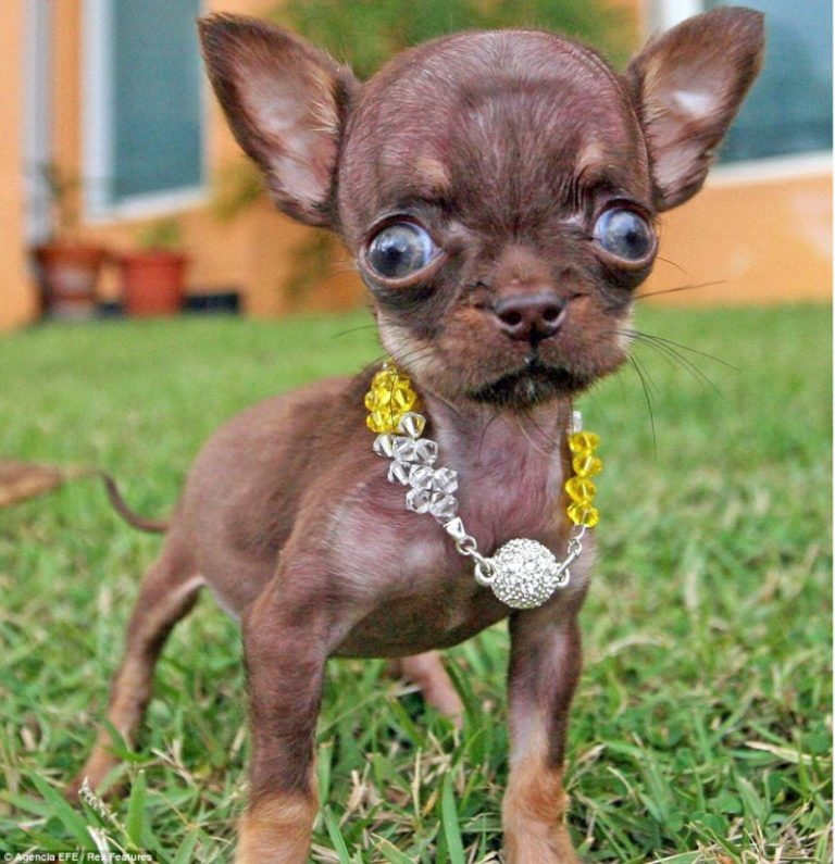 A chihuahua with severe hydrocephalus. Photo source