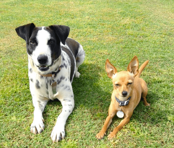About Cow blue heeler black lab mix and Matilda minpin chihuahua