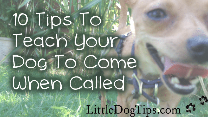 Reliable recall - teaching your dog to come when called