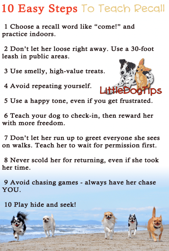 Recall Training Tips Step By Step - #positivetraining for #chihuahua and #smalldog