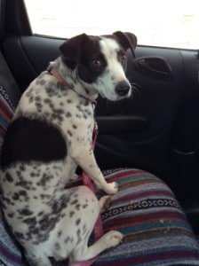 Cow uses Calm Puppy Blend #essentialoils to cope with the car and anal probing.