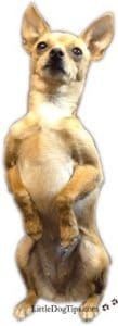 http://littledogtips.com/girl-dog-lift-leg-pee-female-marking/