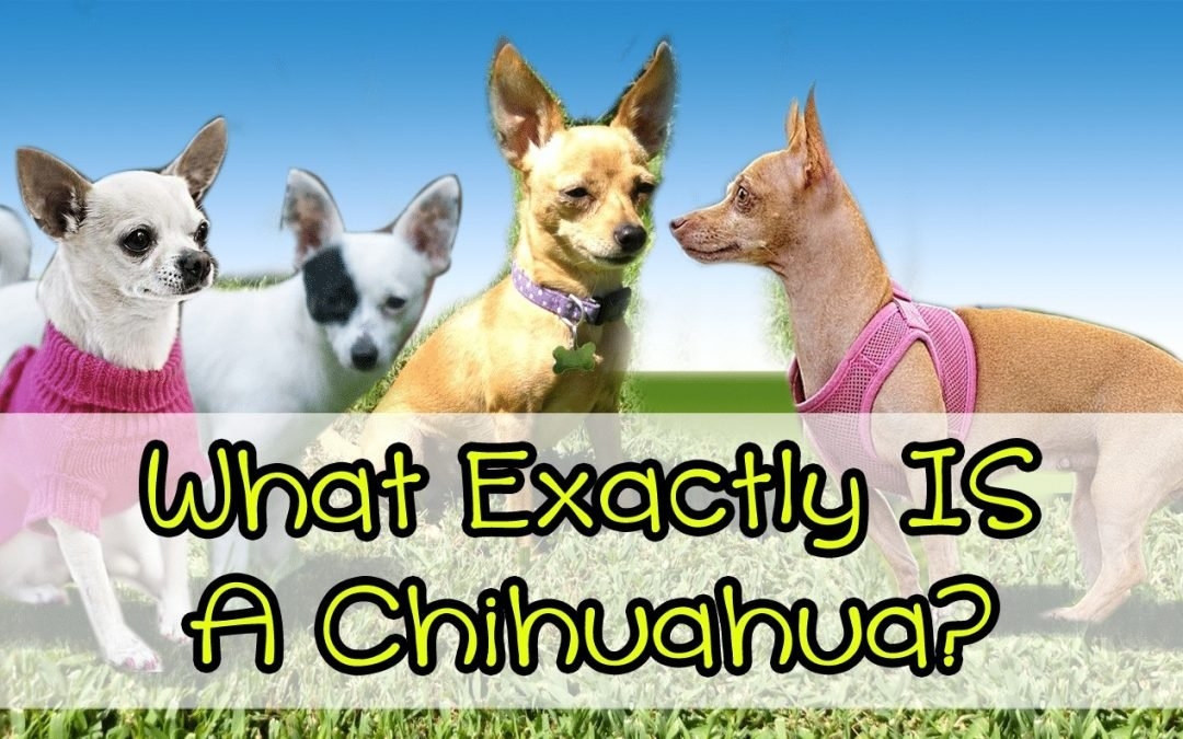 What Exactly IS A Chihuahua?