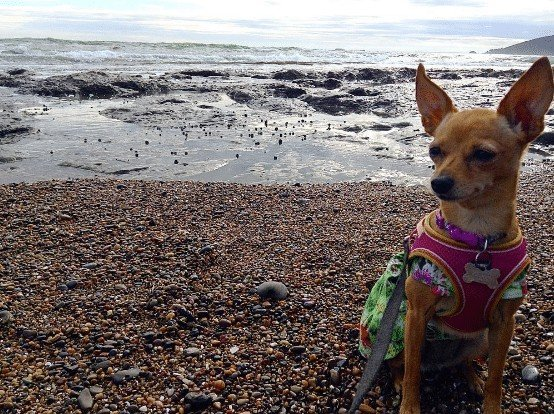 5 Steps To A Happier Chihuahua