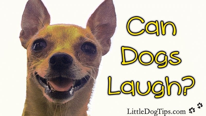 Can #Dogs Laugh? Yes! Dogs laugh to initiate play, and when the recordings of dog laughter are played back to stressed shelter dogs, the results are remarkable.