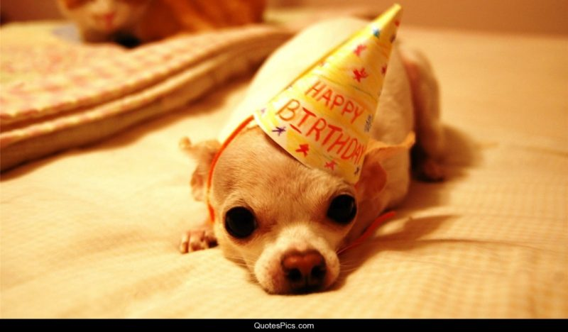 Cutest Chihuahua Birthday Images - Little Dog Tips