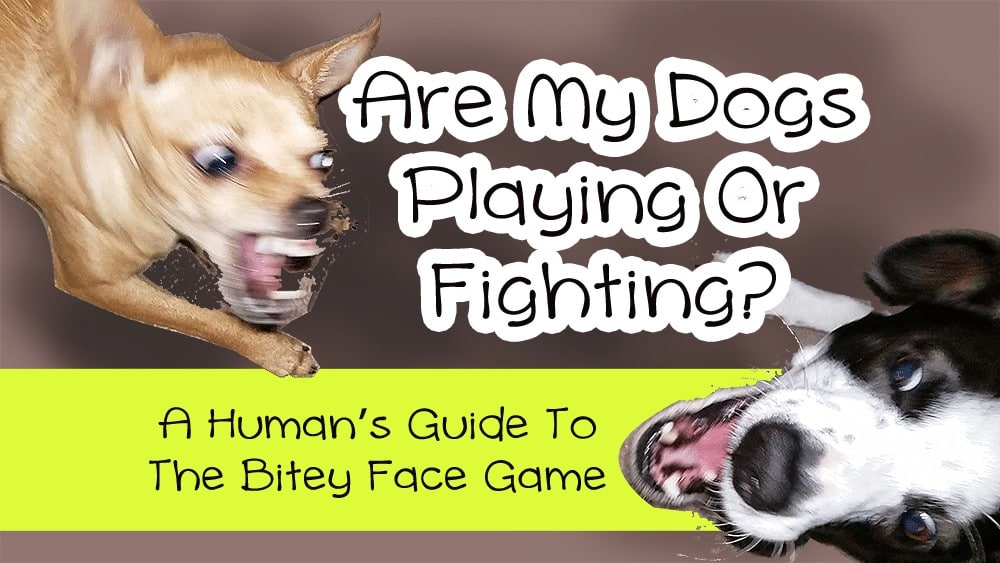 Are My Dogs Playing Or Fighting? A Human's Guide To The Bitey Face Game