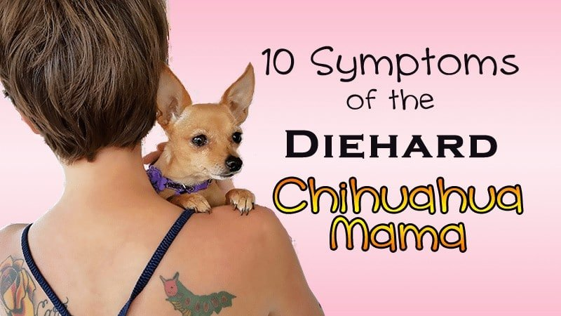 10 Symptoms Of The Diehard Chihuahua Mama