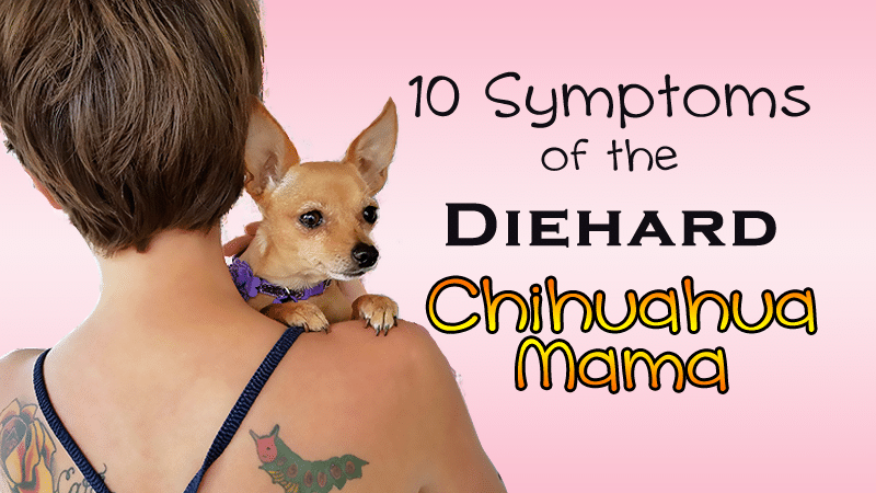 10 Symptoms Of The Diehard Chihuahua Mama