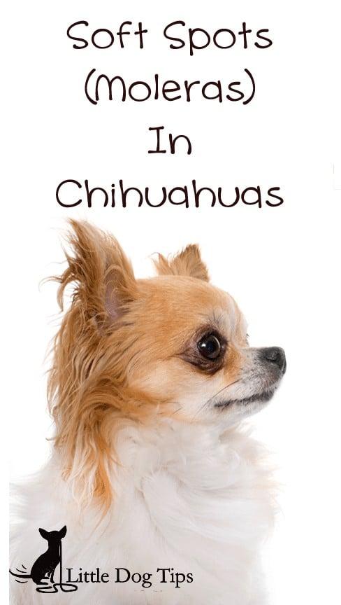 soft-spot-chihuahua