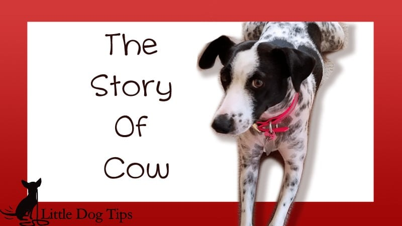 The Story Of Cow
