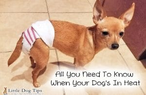 What you should know about your dog's heat cycle, preventing pyometra, and keeping bloody discharge from staining your furniture.