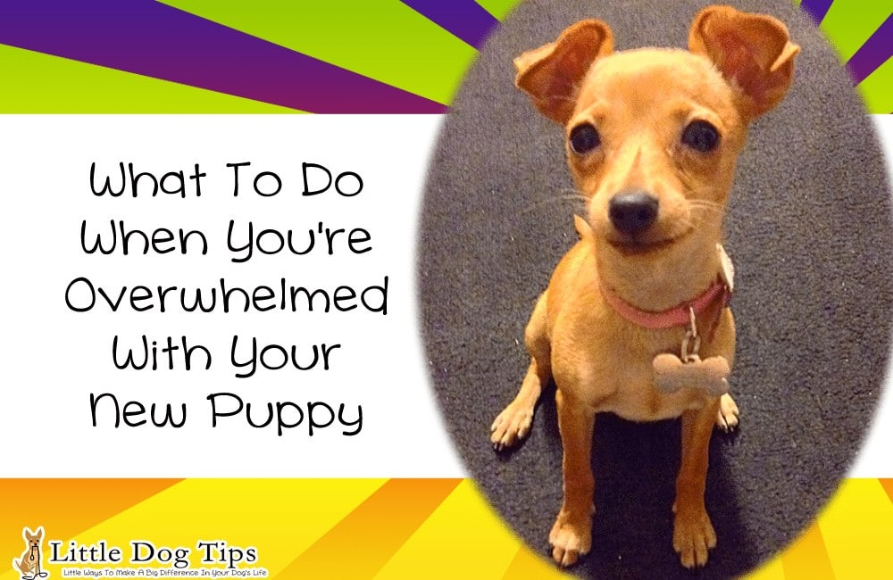 Puppyhood Training Tips – What To Do When You're Overwhelmed With Your New Puppy (With Tips From Robin Bennett)