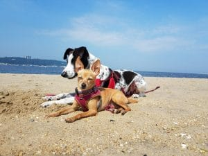 Matilda and Cow have learned to listen when they're outside, even at the dog beach, with the help of #positivetraining and games.