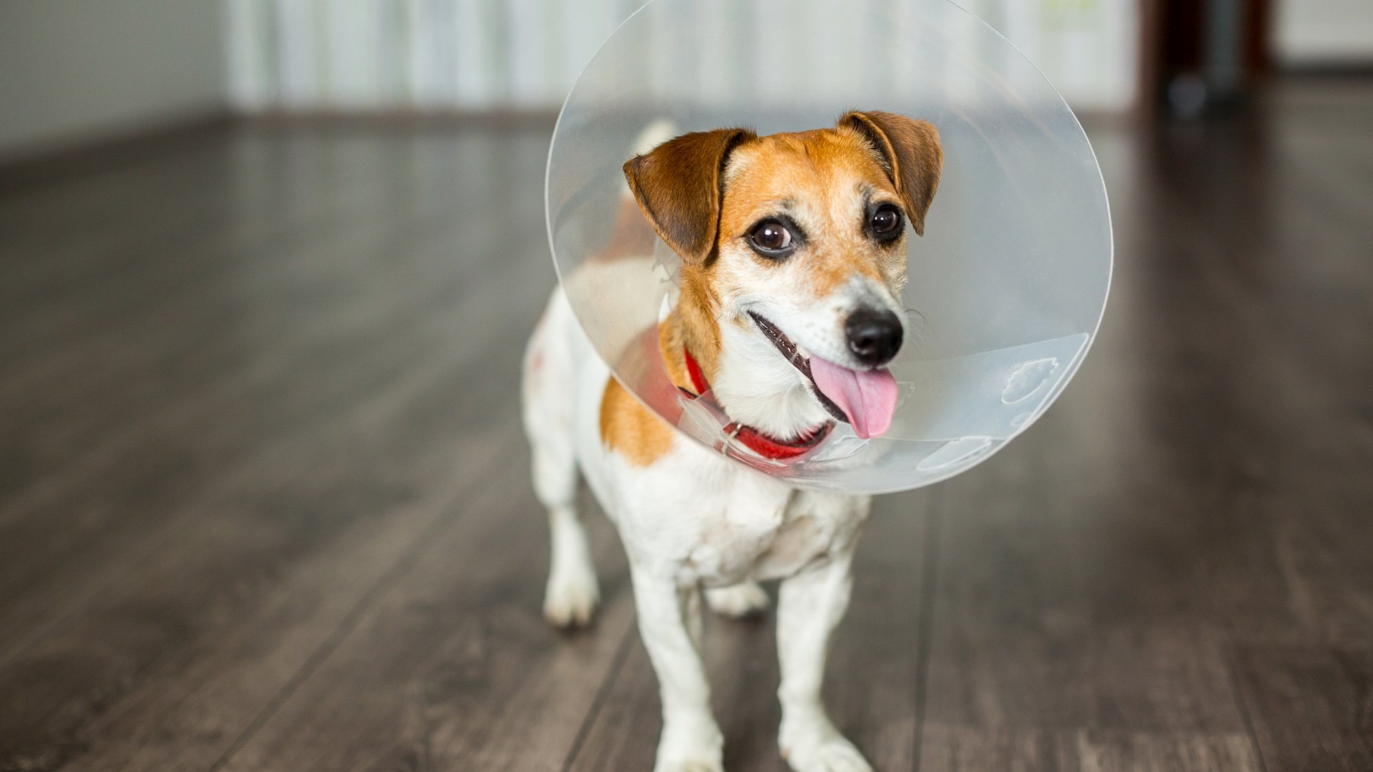 Should You Spay Your Dog?