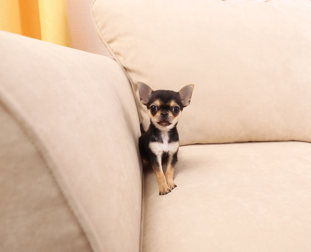 When Do Chihuahuas Stop Growing