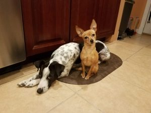 Which Dog Is Alpha In Your Multi Dog Home?