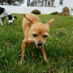 Raw Meaty Bones For Small Dogs – Which Are Safe?