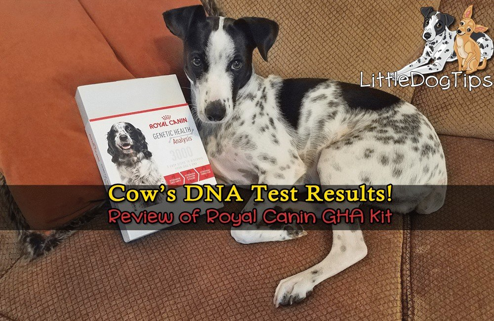 Royal Canin Genetic Health Analysis (GHA) Review: Cow's Results!