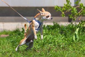 Loose Leash Small Dog