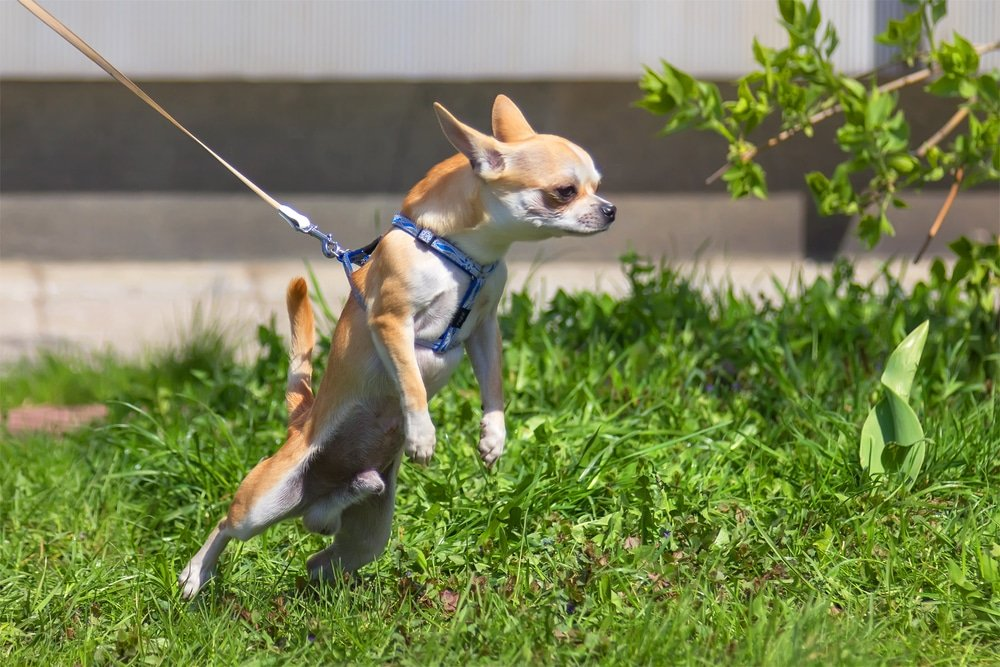 Little Dogs, Loose Leash? Train Your Small Dog To Stop Pulling