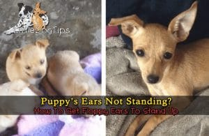 Puppy's Ears Won't Stand Up? Here are some tips for perking up floppy ears.