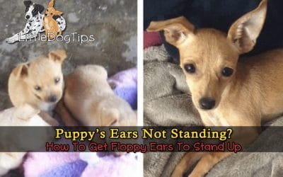 My Puppy's Ears Won't Stand Up – What Can I Do?