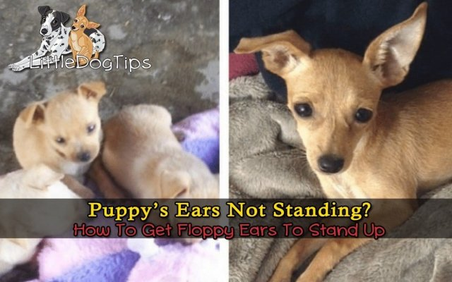 My Puppys Ears Wont Stand Up What Can I Do Little Dog Tips
