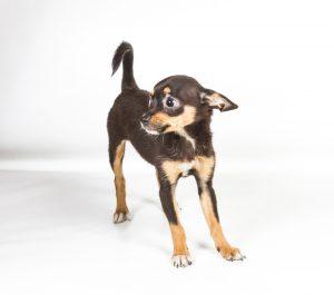 Dog Honk Noise Reverse Sneeze
