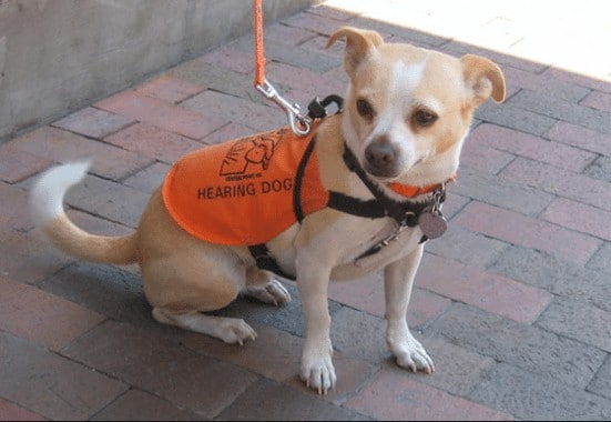 Can A Chihuahua Be A Service Dog?