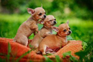 Chihuahua Potty Training