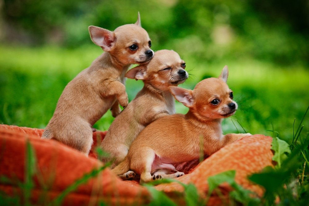 Why Is It SO Hard To Potty Train A Chihuahua?