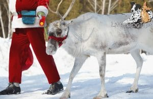 Santa Trains Reindeer Using Force Free Methods - learn how he does it #positivetraining