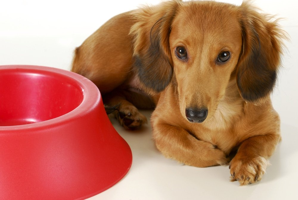Should Your Dog Eat A Meal Before Training