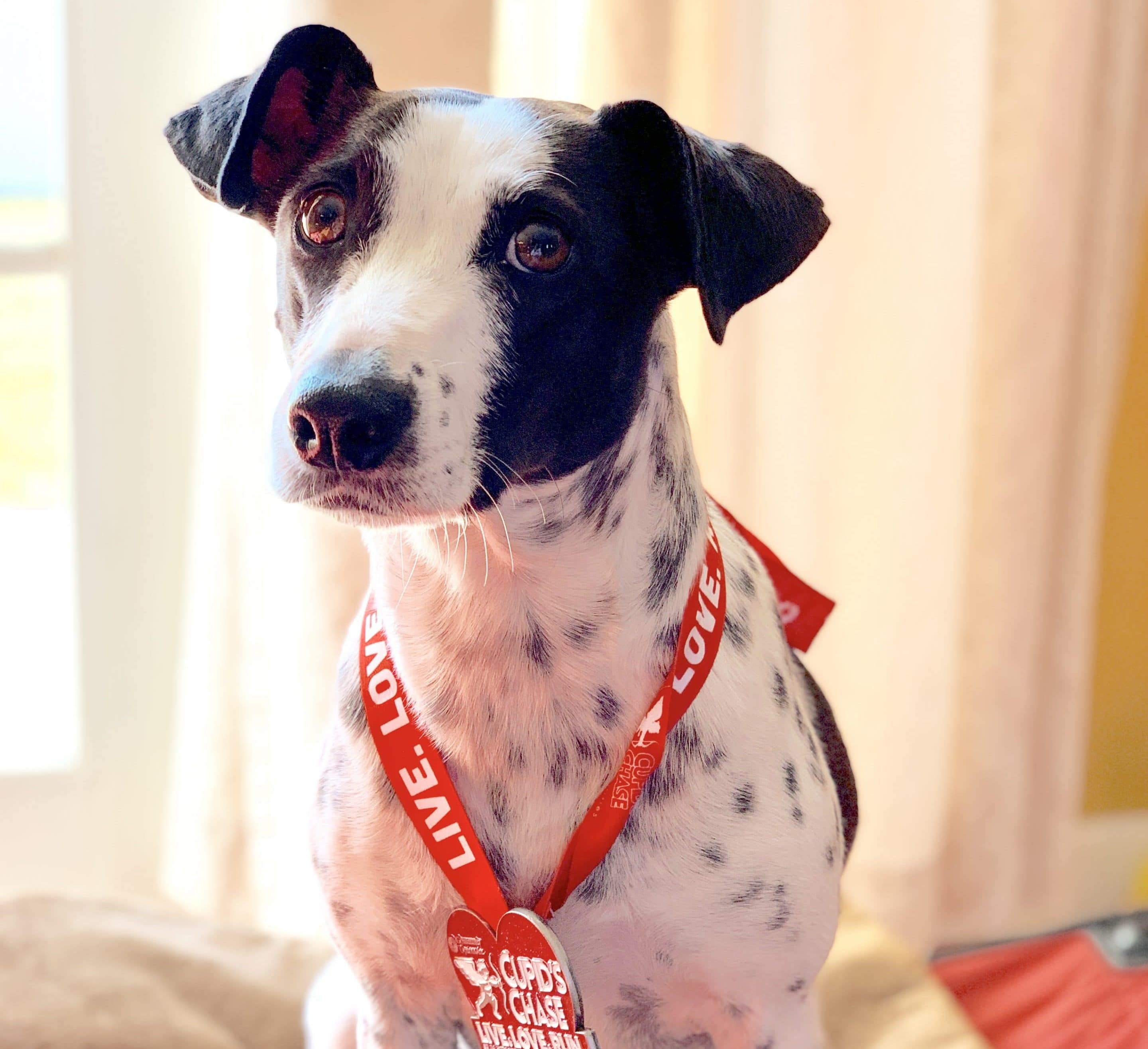 Cow got her participation medal from her second dog friendly 5k
