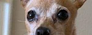 Chihuahua tear stains, eye discharge and eye boogers