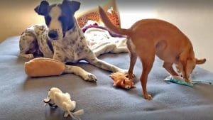 How To Use Play To Relieve Stress In Reactive Dogs