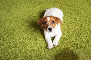 Rubbing your dog's nose in their pee or poop - why there are better ways to potty train a puppy