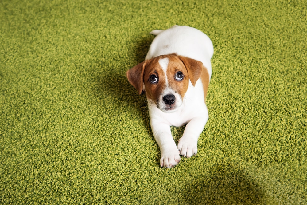 Does Rubbing Your Dog's Nose In Their Own Poop Or Pee… Really Work?