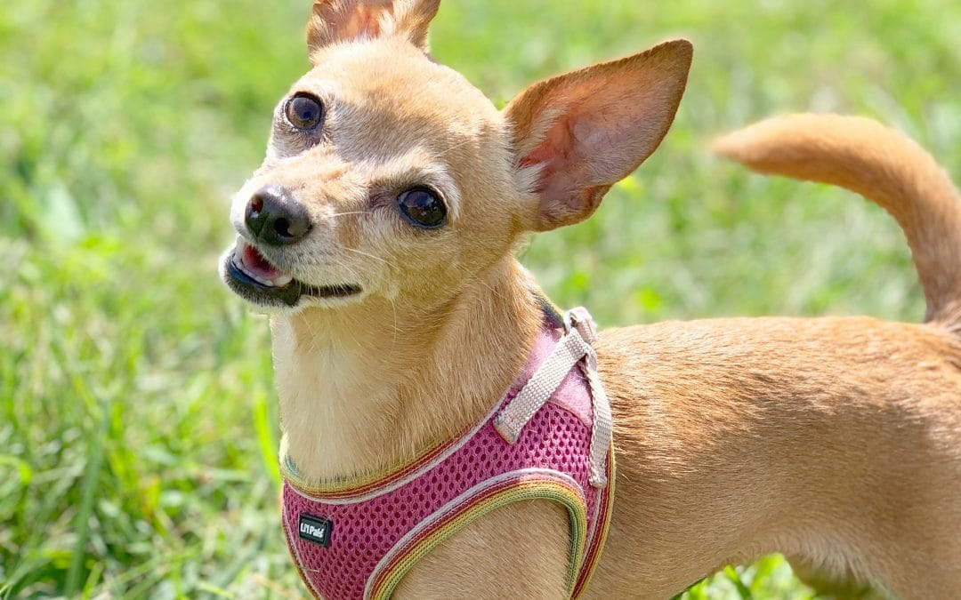 How Much CBD Oil Should You Give Your Chihuahua?