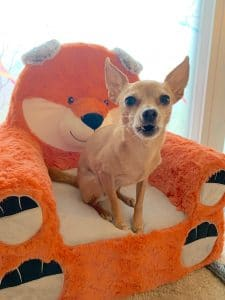 Why Does My Chihuahua Bark So Much?